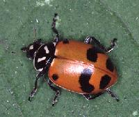 Confused Convergent Lady Beetle