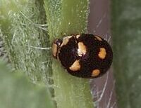 Ursine Lady Beetle