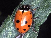 Russian Wheat-aphid Lady Beetle
