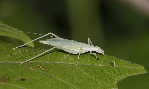 Davis's Tree Cricket © Paul Pratt