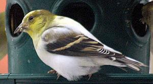 partial albino American Goldfinch image by Marcia Bebbington