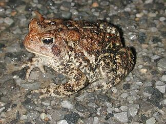American Toad image, photo by Russ Jones