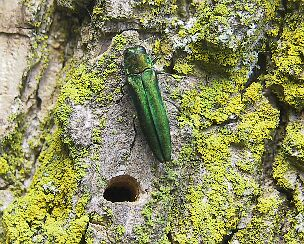 Emerald Ash Borers have killed most of the ash trees at Ojibway