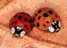 Multi-coloured Asian Lady Beetle