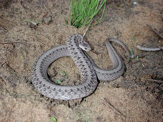 Northern Brown Snake, photo by Russ Jones