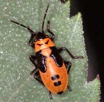 nymph of Small Milkweed Bug