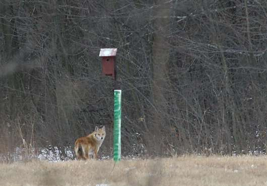 Coyote seen near Ojibway, January 2007