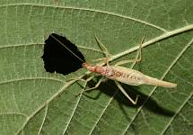 male Two-spotted Tree Cricket, Neoxabea bipunctata
