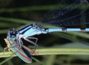 Hagen's Bluet feeding on leafhopper