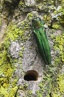 Emerald Ash Borer near D shaped exit hole