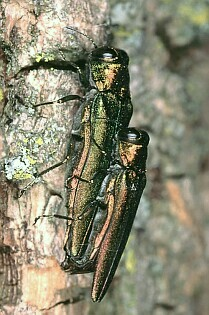 pair of Emerald Ash Borers