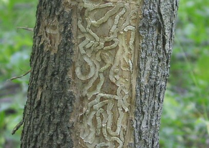 larval borer galleries beneath ash bark