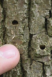 exit holes on ash trunk