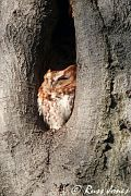 Eastern Screech-Owl, Jan 12 2006
