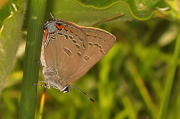Edward's Hairstreak, Spring Garden Natural Area