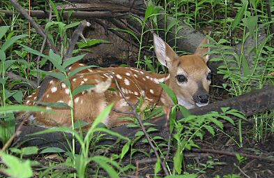 White-tailed Deer fawn, June 3, 2003