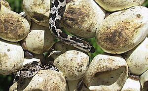 Eastern Fox Snake hatchings and eggs