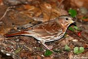 Fox Sparrow, Dec 01 2005
