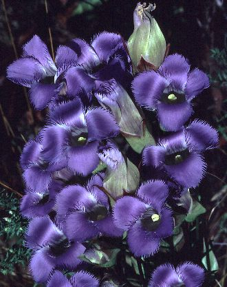 Fringed Gentian photo