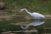 Great Egret image