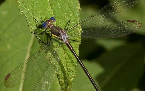 Archilestes grandis, Great Spreadwing