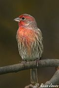 male House Finch, Nov 10 2005