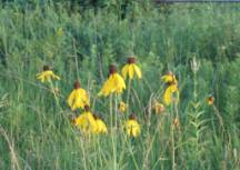 Grey-headed Coneflower in bloom