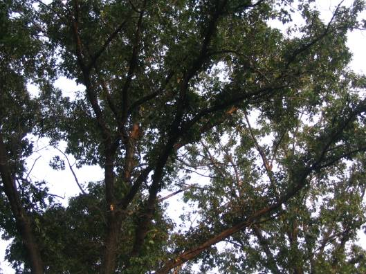 canopy of Black Oaks