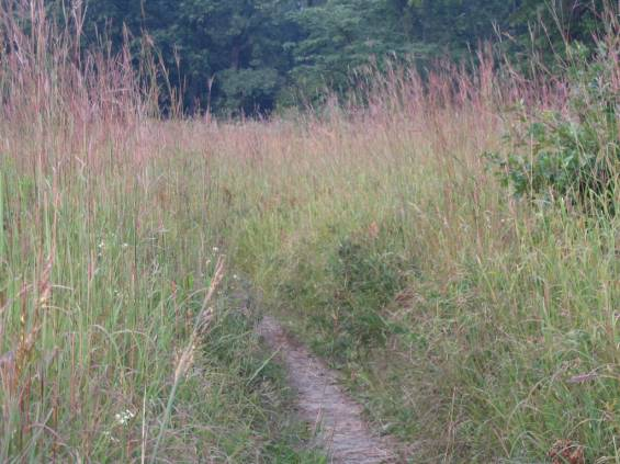 thick stand of Big Bluestem borders trail