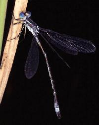 Lyre-tipped Spreadwing