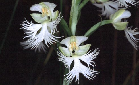 Eastern Prairie White-fringed Orchid blooms at month's end