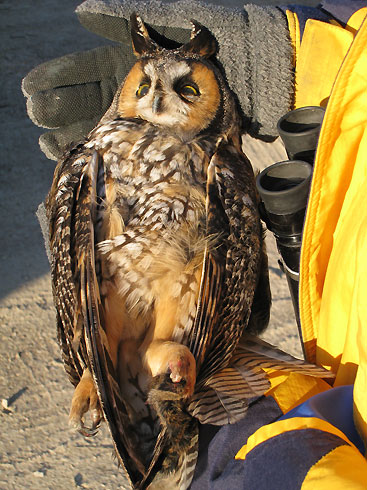 Long-eared Owl, Dec 1, 2007 © PD Pratt