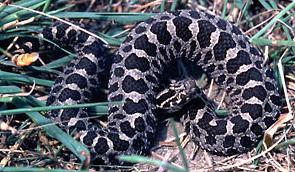 neonate Eastern Massasauga