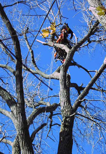 constructing nest platform in cottonwood