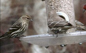 Pine Siskin (left) and House Finch at feeder