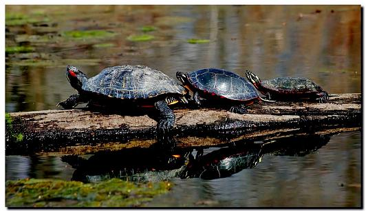 Red-eared Slider and Painted Turtles, photo by Gerry Pollard