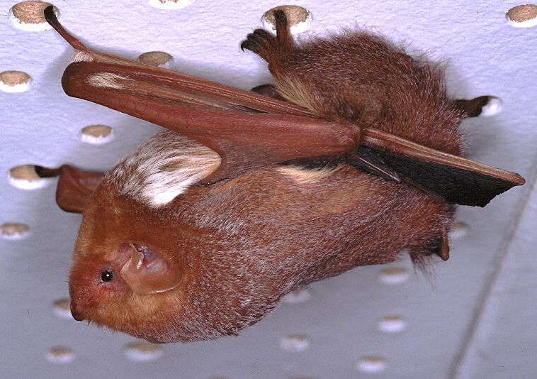 photo of Red Bat
