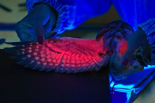 saw-whet under UV light © Paul Pratt