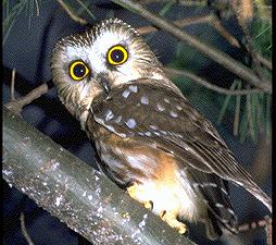 N. Saw-whet Owl by Jim Flynn