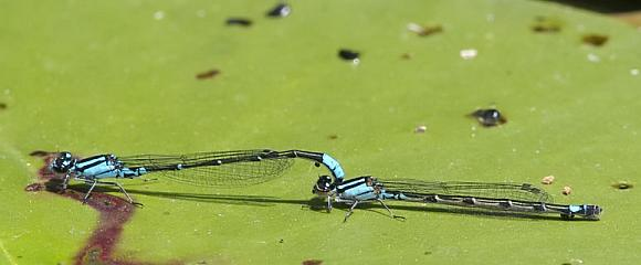 image of Skimming Bluets