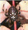 female Araneus  spider