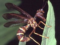 Mantid fly
