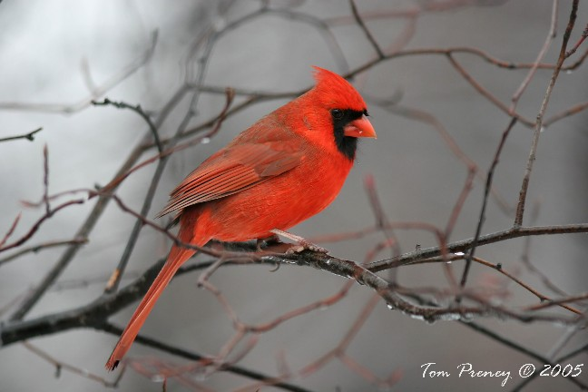 photo of Northern Cardinal at Ojibway, by Tom Preney