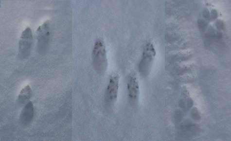 cottontail, squirrel and coyote tracks