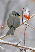 Tufted Titmouse, Dec 15 2005