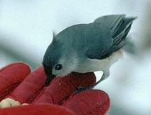 Tufted Titmouse and peanuts in hand
