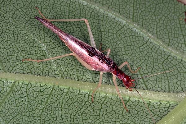 female Two-spotted Tree-cricket