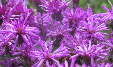 ironweed flowers