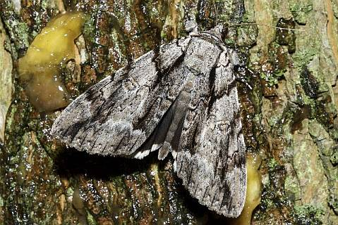 Widow Underwing at bait
