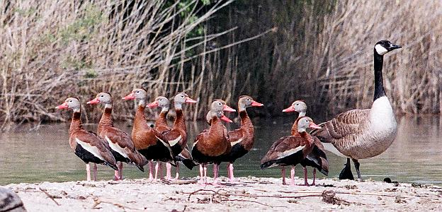 Black-bellied Whistling-Ducks at Peche Island, Windsor, photo by Alan Wright
